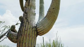 Close-up low angle camera moves around big lush mature Saguaro cactus growing very tall near Tucson Arizona area, USA. Various cacti species are an iconic stock video