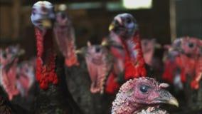 Heads of black Turkeys | Free Range Farm, UK