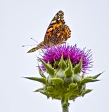 Close up Low Angle Profile Bright Orange Butterfly on Purple Flower. Close up face and profile of bright orange painted lady butterfly sitting on purple thistle stock photo