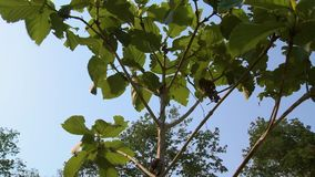 Forest teak tree blowing in the wind, Myanmar