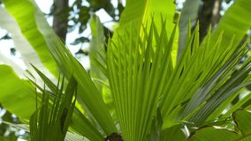 Palm foliage, tropical rainforest, Costa Rica. Close-up low-angle still shot of lush green spiky leaves of tropical palm , and banana plants foliages, Tropical stock video