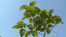 Leafy Teak tree in the blue sky, Taungoo, Myanmar