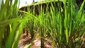Fresh sprouts seeds on rice plant growing on lush green rice paddy field. stock video