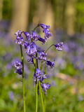Close-up of bluebell flowers, selective doff Stock Photography