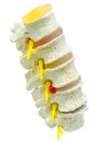 A close-up of a lumbar part of a spine preparation over white ba Royalty Free Stock Photography