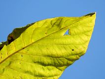 Close-up of a luminous green leaf isolated on blue background. stock photography