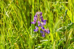 Close up of Lupine flowers blooming among tall grass, California royalty free stock photos