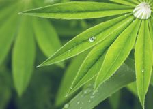 Close-up of lupine leaves with raindrops. Stock Photography