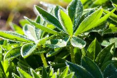Close up of Lupinus plant with water drop Royalty Free Stock Photo