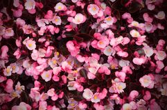 Close up of lush blooming of a lot of begonias with pink flowers stock image