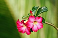 Lush Exotic Pink flowers on green blurred background. A close up of lush exotic pink flowers Royalty Free Stock Photo