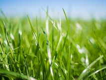Close-up of lush green grass on field in Northern Germany with sun shining and nice bokeh during spring, Nordfriesland. Close-up of lush green grass on field in royalty free stock images