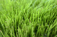 Close-up of lush green grass Royalty Free Stock Photography