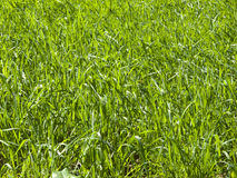 Close up of lush, green, growing grass Royalty Free Stock Images