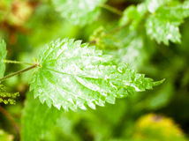 Close up of lush green ripe leaf wet dew background Royalty Free Stock Photos