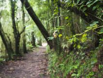 Close up of lush green tropical vegetaion ivy, moss and ferns on footpath at hiking trail in forest near furnas on Sao. Miguel island, Azores, Portugal royalty free stock photos