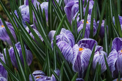 Close-up of lush vibrant violet and white crocuses royalty free stock photo