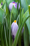 Close-up of lush vibrant violet and white crocuses and green tulips leaves Stock Images