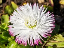 Close-up of a lush white bellis perennis called daisy under the sunshine. Spring bloom flowers in flowerbed. Nature and botany, natural flower with white stock photography