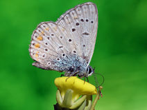 Lycaenidae butterfly. Close up of lycaenidae butterfly on flower Royalty Free Stock Photo
