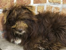 Close-up of a lying brown shaggy dog royalty free stock image