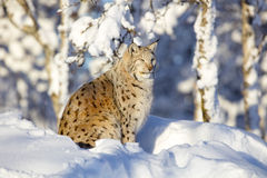 Close-up of lynx cat resting in the winter sun Stock Photography
