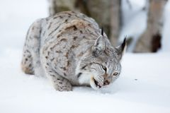 Close up of lynx eating meat Stock Photography