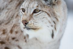 Close up of a lynx Stock Photo