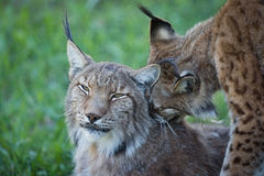 Close-up of lynx nibbling another in shadows Stock Image