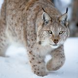 Close up of a lynx sneaking Royalty Free Stock Photos