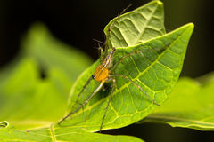 Close-up lynx spider on green leaf Stock Photography
