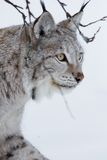 Close up of a Lynx walking in the snow. A european lynx in the winter. February, Norway Royalty Free Stock Photo