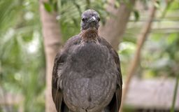 A lyre bird. This is a close up of a lyre bird Royalty Free Stock Photography
