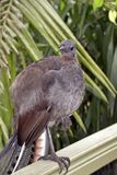 A lyre bird. This is a close up of a lyre bird Stock Images