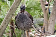A lyre bird. This is a  close up of a lyrebird Stock Photo