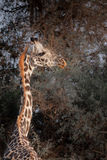 Maasai giraffe in profile in Kilimanjaro Royalty Free Stock Images