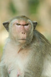 Close-up of Macaque monkey. Royalty Free Stock Photography