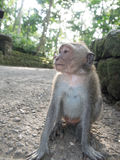Close up of Macaque monkey in Bali Royalty Free Stock Photography