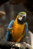 Close-Up Macaw Royalty Free Stock Photography