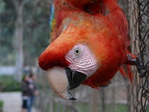 Close-up of a macaw ara chioroptera in a garden, Lima Stock Photos