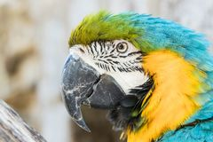 Close up of a macaw. Close up of a beautiful blue yellow green macaw parrot in a birdpark royalty free stock images