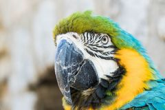 Close up of a macaw. Close up of a beautiful blue yellow green macaw parrot in a birdpark royalty free stock image