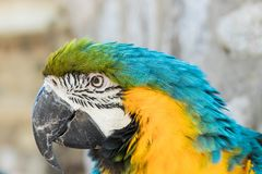Close up of a macaw. Close up of a beautiful blue yellow green macaw parrot in a birdpark royalty free stock photo