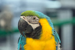 Close up of Macaw Royalty Free Stock Photo