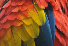 Close-up of macaw parrot feathers in red, yellow and blue Royalty Free Stock Images