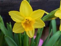 Close up macio do narciso amarelo do junquilho do narciso amarelo fotografia de stock royalty free