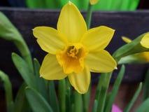 Close up macio do narciso amarelo do junquilho do narciso amarelo imagens de stock royalty free
