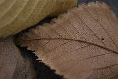 Close-Up Macro Autumn Fall Leaf Detail Background. Dry Close-Up Macro Autumn Fall Leaf Detail Background Stock Photography
