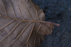 Close-Up Macro Autumn Fall Leaf Detail. Dry Close-Up Macro Autumn Fall Leaf Detail Royalty Free Stock Photo
