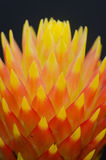 Close up macro beautiful bromeliad flower Royalty Free Stock Images
